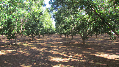 Description: Pecan nut orchards  Tags: Pecan nut orchards