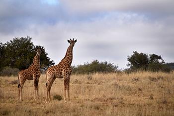 Description: Giraffe 2017 Tags: Giraffe 2017