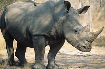 Description: Black Rhino Tags: conservation strategy, black rhino, Nature Scientific Reports, National Zoological Gardens of South Africa, extinction, decline in genetic diversity, Prof Antoinette Kotze, Research and Scientific Services, Dr Desire Dalton