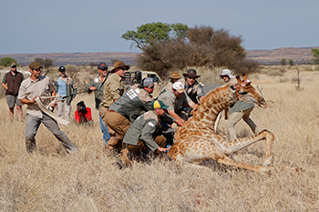 Description: Giraffe read more Tags: giraffe, conservation, Dr Francois Deacon, Last of the Long Necks, Catching Giants